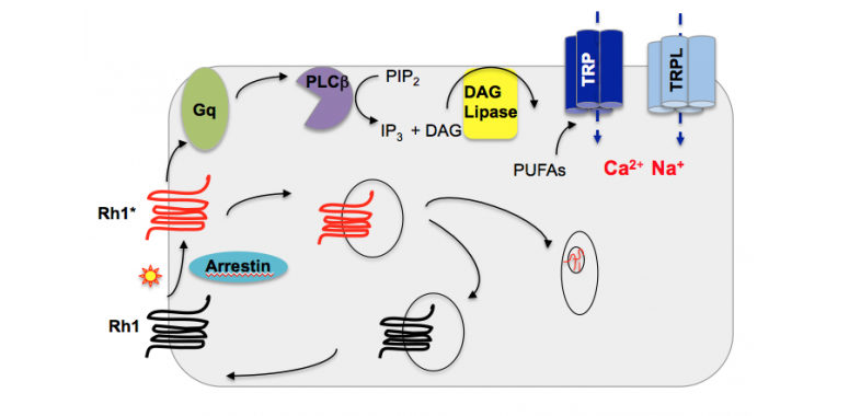 Visual transduction in Drosophila