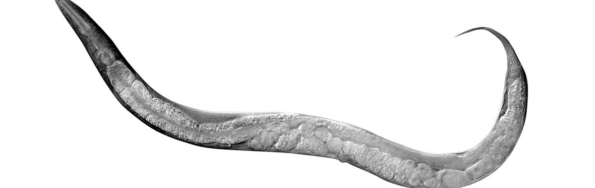 DIC of C. elegans