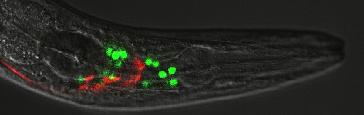 Transgenic fkh-8:gfp;glr-1:mCherry C. elegans