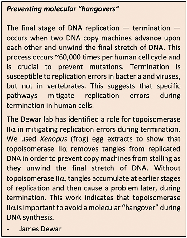 "Preventing molecular ""hangovers"" The final stage of DNA replication — termination — occurs when two DNA copy machines advance upon each other and unwind the final stretch of DNA. This process occurs ~60,000 times per human cell cycle and is crucial to prevent mutations. Termination is susceptible to replication errors in bacteria and viruses, but not in vertebrates. This suggests that specific pathways mitigate replication errors during termination in human cells. The Dewar lab has identified a role for topoisomerase II in mitigating replication errors during termination. We used Xenopus (frog) egg extracts to show that topoisomerase II removes tangles from replicated DNA in order to prevent copy machines from stalling as they unwind the final stretch of DNA. Without topoisomerase II, tangles accumulate at earlier stages of replication and then cause a problem later, during termination. This work indicates that topoisomerase IIa is important to avoid a molecular ""hangover"" during DNA synthesis."