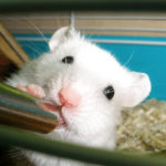 Close up of a white mouse drinking something from a silver tube. The mouse is in its cage and is looking at the camera and holding the drinking tube with one paw. A yellow container can be seen in the lower right corner. The bottom of the cage is littered with shavings.