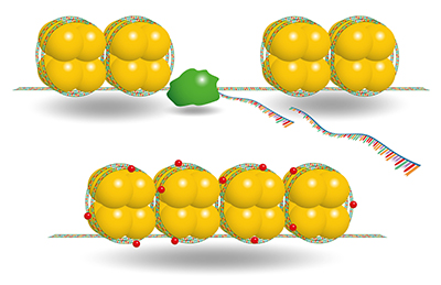Two segments of chromatin are shown. Each is made up of eight yellow balls (laid out in a four-by-two pattern) that represent histones and a colorful thread, representing DNA, that goes around the histones; collectively, these are the nucleosomes . The top chromatin has the nucleosomes more spread out than the bottom chromatin. Gene expression on the top chromatin is represented by a green protein that is shooting out segments of RNA. There is no gene expression on the bottom chromatin: the nucleosomes are tightly packed in a line and the DNA has a smattering of red spots throughout, representing methyl groups.