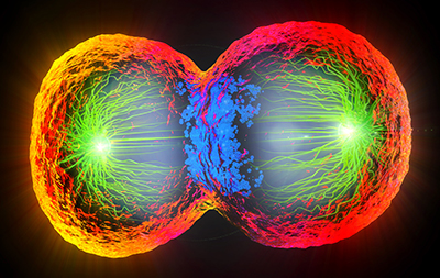 Colorful 3D illustration of a cell undergoing cell division. The outside of the progeny cells is bright orange/red. Green filaments spread out from each pole toward the center. The cell is getting pinched around the center; the area between the cells is blue. The background is black.
