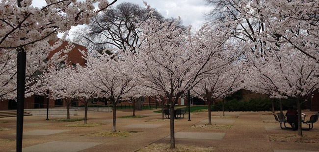 Cherry trees near the student life center bring a sense of order and peace to the area - just a few of the noteworthy trees in the arboretum.