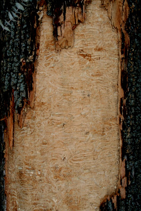 Damage by EAB to inner bark