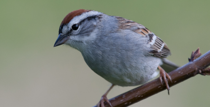 Vanderbilt lab develops app for analyzing crowd-sourced songbird recordings