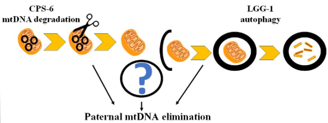 This diagram illustrates how studies in C. elegans have identified factors involved in paternal mtDNA elimination in embryos, including LGG-1, which is involved in ubiquitination and autophagy of sperm mitochondria-related organelles, and CPS-6 (endonuclease G), which degrades paternal mtDNA upon fertilization
