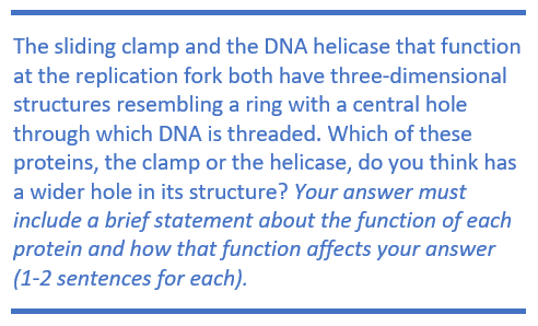 The sliding clamp and the DNA helicase that function at the replication fork both have three-dimensional structures resembling a ring with a central hole through which DNA is threaded. Which of these proteins, the clamp or the helicase, do you think has a wider hole in its structure? Your answer must include a brief statement about the function of each protein and how that function affects your answer (1-2 sentences for each).
